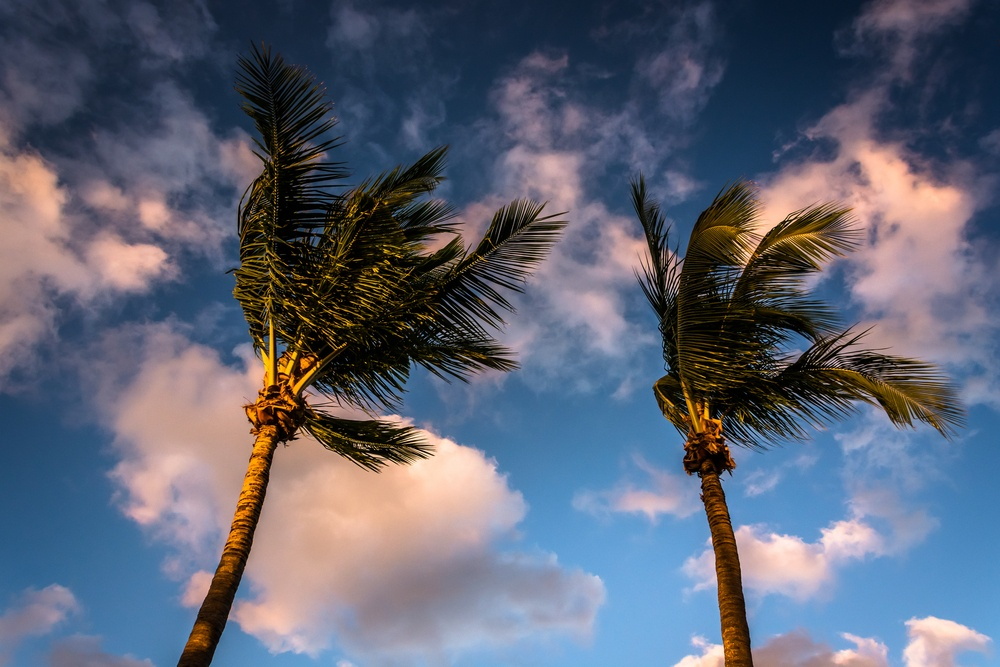 Evening light on palm trees in Naples, Florida.