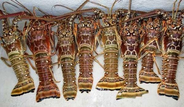 floridakeys-spiny-lobster